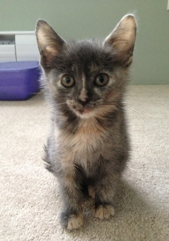 This pretty girl is 4 mth old Rosy!  She has never been shy and loves to cuddle and be held.  Rosy is looking for her forever home.  Is it with you? www.orphankittenrescue.com