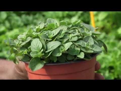 Jak pěstovat bylinky? - YouTube