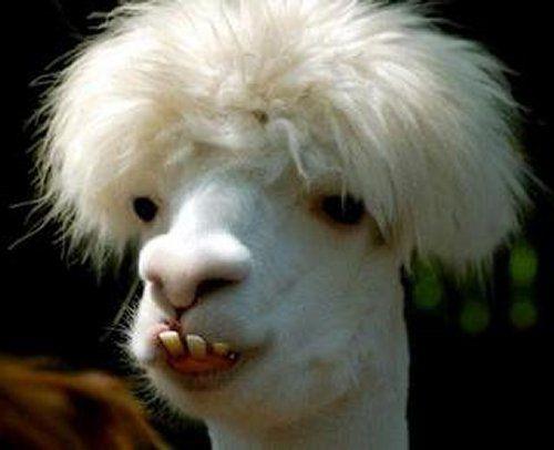 Best Lamaz Images On Pinterest Alpaca Funny Alpacas And - 22 hilarious alpaca hairstyles