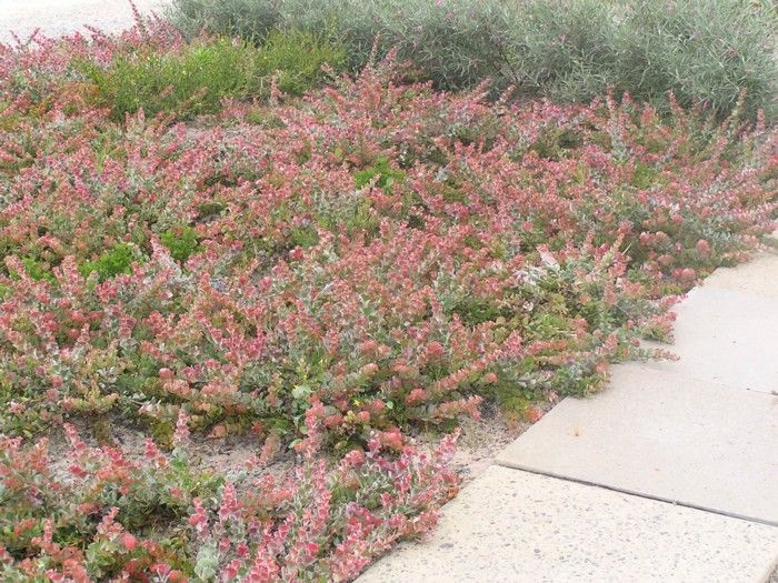 Adenanthos cuneatus flame bush form low spreading drought for Drought tolerant ground cover full sun