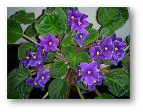 Cuidados con las Violetas Africanas