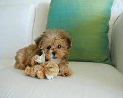 Fo-Tzu = Toy Fox Terrier + Shih Tzu