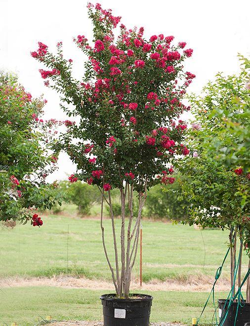 Centennial Spirit Flowering Trees Shrubs Pinterest Shrubs