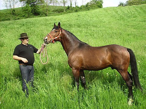 The Ventasso Horse breed was formed through the interbreeding of local horses with the Lipizzaner and the Maremmano. Until the 1940s the horses were supplied to the military. Today it is used as a general riding horse and as a competition sport horse. It is critically endangered, with less than 50 purebred horses remaining. Img: Furioso del Ventasso