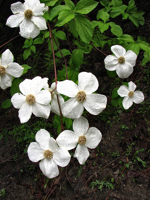 Dogwood cluster by Kristal Leonard, via Flickr