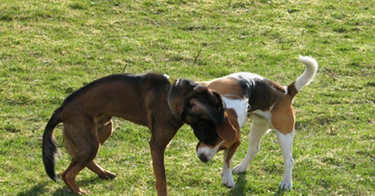 Efeitos colaterais da Gabapentina nos cachorros. A Gabapentina é um medicamento controlado, originalmente desenvolvido para o tratamento de epilepsia em humanos, mas atualmente ele é usado para aliviar a dor em pessoas, cães, gatos e em uma variedade de outros animais. Mas qual o efeito da Gabapentina no seu cão?