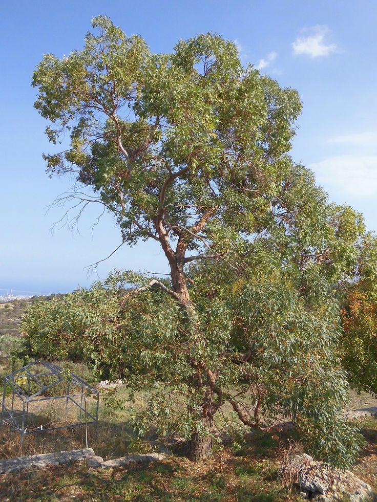 Eucalipto (Eucalyptus Camaldulensis) albero adulto