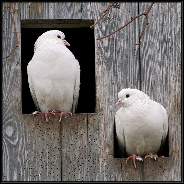 White turtle doves- I will NEVER understand why anyone hunts and hurts God's creations!!  Shame on you!!