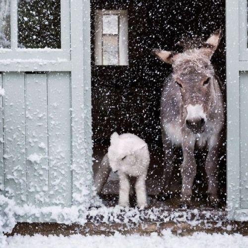 lamb and donkey    so cute