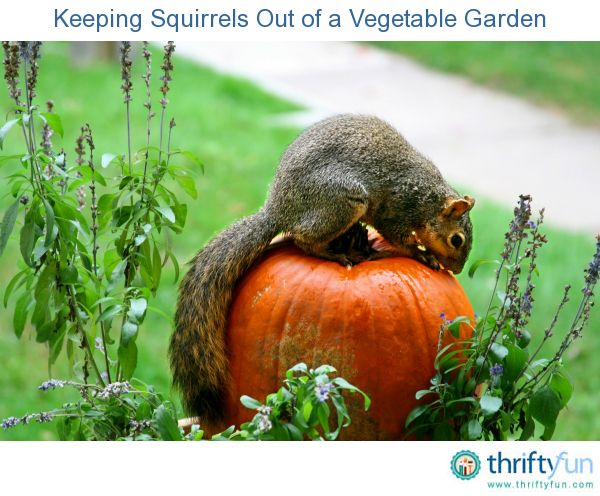 Keeping Squirrels Out Of A Vegetable Garden Gardens Vegetable Garden And Squirrel
