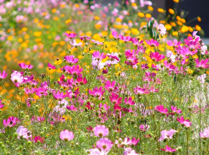 cosmos - easy to grow flowers ~ This flower is an annual, which means it dies after one season, but it reseeds itself so prolifically you would never know it! Each season new seedlings will come up on their own, with no help from you at all. All they need is a little water and at least half a day of sun, and they will provide you with armfuls of cut flowers all season long. This is our best budget pick…