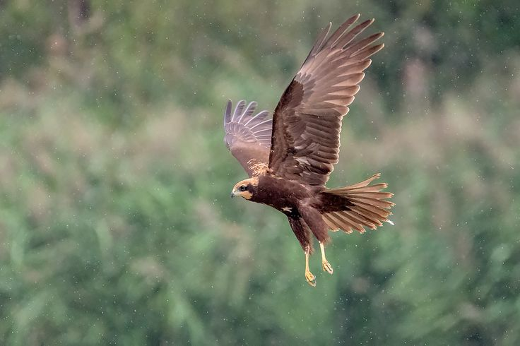 błotniak stawowy, Western marsh harrier