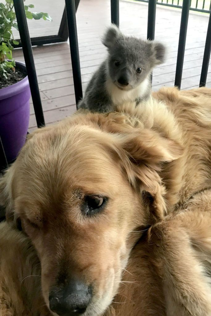 Golden Retriever Saves A Koala S Life Shocks The Owner Love Your Pet Pets Animals Baby Koala Dog Breeds Rescue Dogs