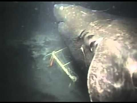 "Giant Shark filmed off Japan - ""When trying to ascertain its size, researchers took into account the dimensions of the bait container, as well as the length of other sharks that can be seen in the footage before the monster shows up, which were judged to be around 2 meters (6.5 feet) long. Using these as size comparisons, the mystery shark was estimated as being at least 30 feet long, with more exaggerated estimations putting it at more like 50 or 60 feet long."""