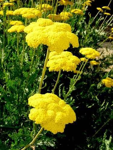 Тысячелистник таволговый Многолетнее растение 1,2 м высотой. Листва тысячелистника таволгового  серо-зеленая, ажурная. Цветочные корзинки собраны в плоские щитки. Краевые цветки золотистые, однорядные, трубчатые — желтые. Цветет в июле 30 дней. Наилучший срезочный сорт тысячелистник 'Coronation Gold'