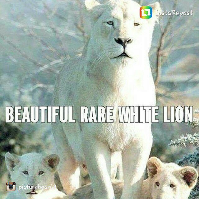 repost via @instarepost20 from @picturebear68 Another big kitty #lion #white #Cubs #rare #animal #instarepost20