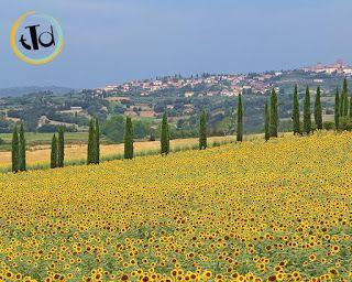 Val d'Orcia, ampia valle in provincia di Siena e in parte di Grosseto, in cui troviamo anche il parco artistico naturale. I campi lungo la strada che portano da Pienza a Montepulciano sono infatti ricolmi di questo fiore!