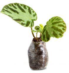 Begonia 1 Rp 45,000