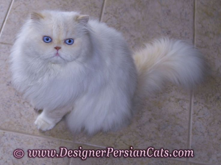 Buy persian cat chicago