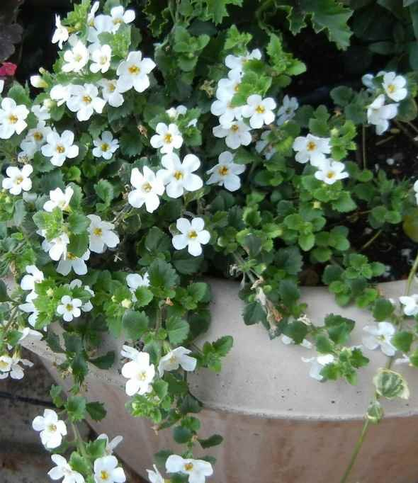 Image result for bacopa
