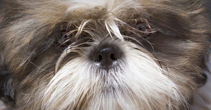 Cistos de pele em cães das raças pequinês e shih tzu. A Mayo Clinic descreve um cisto com um saco cheio de ar, fluído ou outro material. Os shih tzu são conhecidos por terem propensão a cistos sebáceos -- também chamados de cistos epidérmicos. Os pequineses são propensos a cistos na área interdigital, um tipo de cisto que surge entre os dedos dos pés.