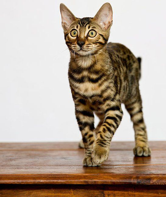 These breeds are recommended for those with cat allergies Bengal