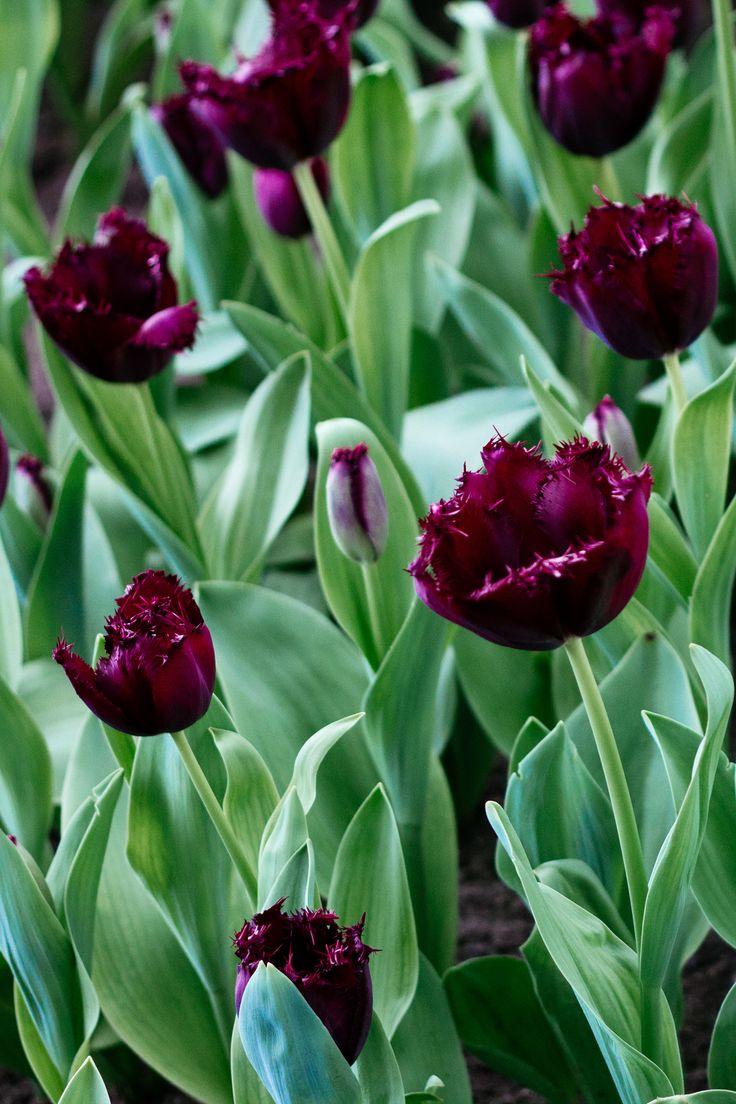 Tulip Gavota Dutch Garden World Spring flowering bulbs