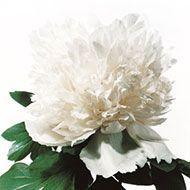 La collezione di Peonie in vendita del Centro Botanico Moutan - Giada bianca (Bai Yu)