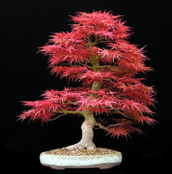 "Japanese Maple ""Seigen"" (Acer palmatum ""Seigen"")  Early Spring Colors  55cm (21.5 inches)  Imported from Japan (styled since 1996)  Pot: Horst Heinzlreiter (Austria)"
