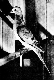 Passenger Pigeon - The species went from being one of the most abundant birds in the world during the 19th century to extinction early in the 20th century.  The world's last Passenger Pigeon, died on September 1, 1914.
