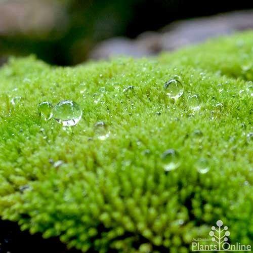 Natural fresh moss  http://www.australianplantsonline.com.au/fresh-moss.html