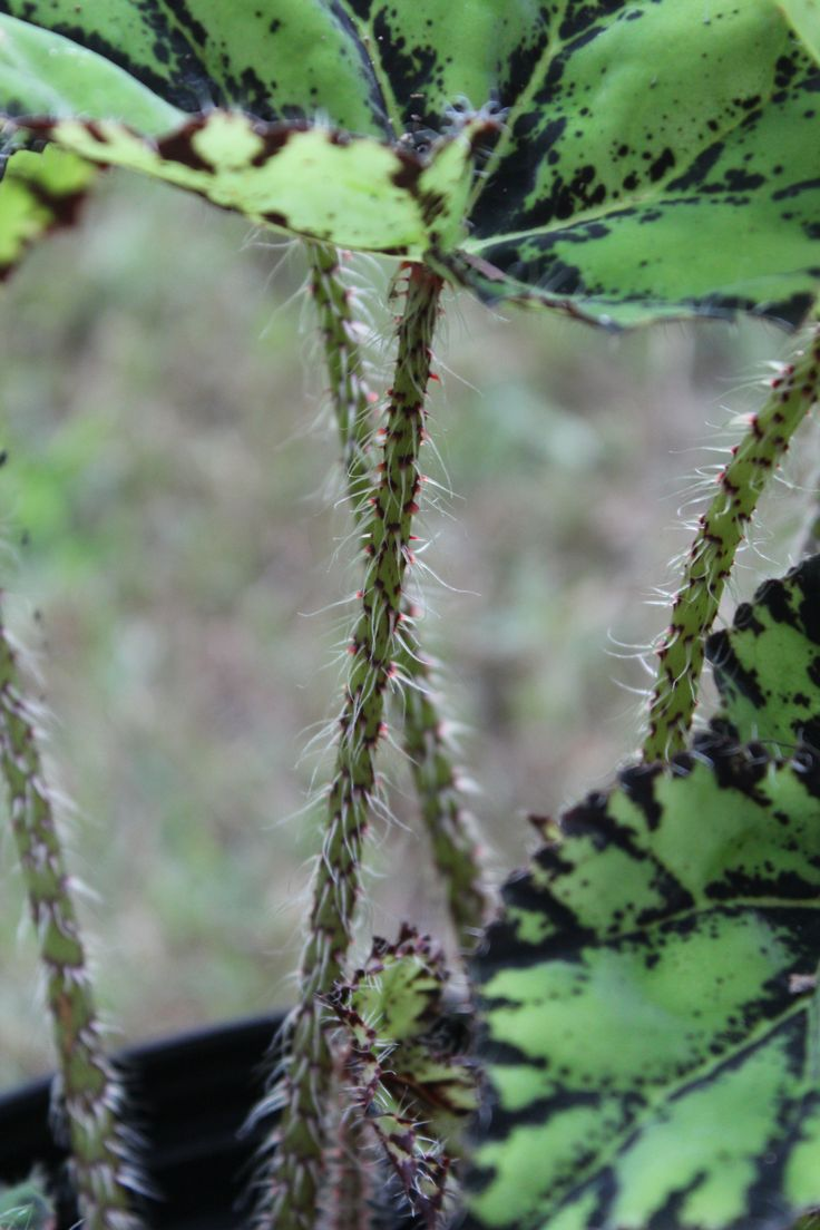 Eyelash Begonia stems...coolest leaves and stems in the world!