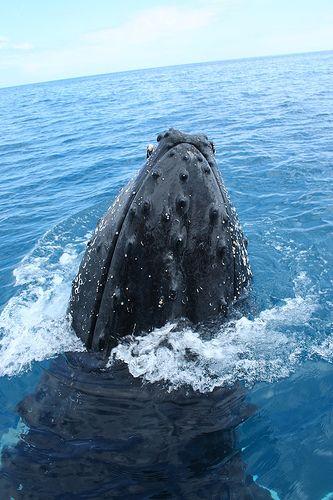 Humpback Whale - Hervey Bay, Australia