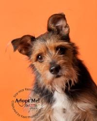 Jiya is an adoptable Norwich Terrier Dog in Wooster, OH. Jiya came to us from a rural Ohio pound where she had been dropped off my her owners. �She is an intentional Norwich Terrier/Schnauzer cross bo...