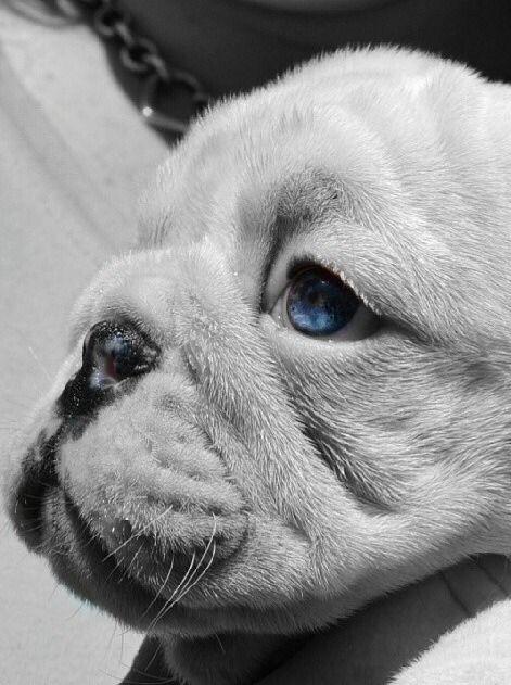 ❤Bulldog Puppy❤baby blue eyes❤
