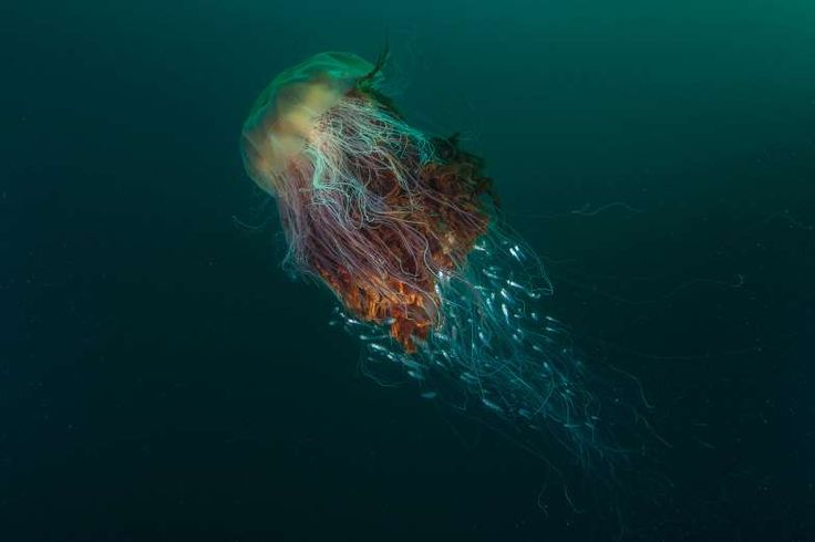 Cette photo de méduse à crinière de lion a été primée aux British Wildlife Photography Awards - Fournis par Paris Match