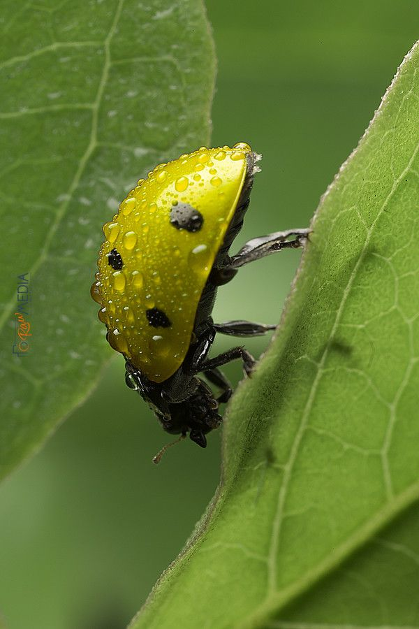 Yellowish Ladybug by Muttaz Fadhel