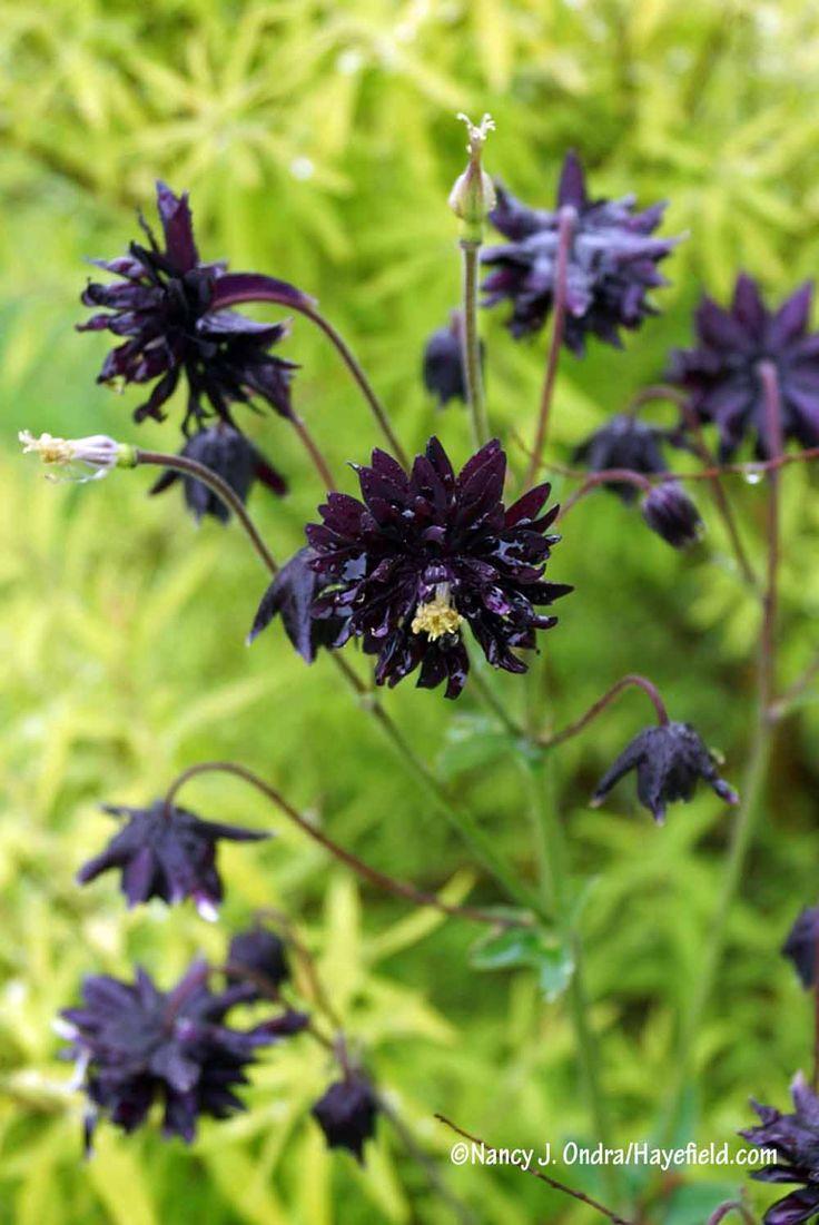 The 27 best full sun flower bed ideas images on pinterest black barlow columbine aquilegia nancy j ondrahayefield izmirmasajfo