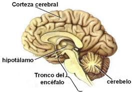 sistema nervioso - Buscar con Google