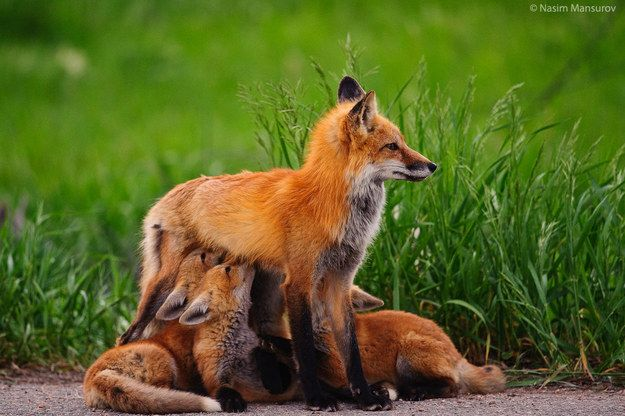 """♥ Community Post: 6 Amazing Facts About Fox """"Vixens (female fox) are occasionally assisted in rearing their cubs by a non-breeding sister or a female cub from a previous litter. These 'aunts' gain valuable experience which helps them to rear their own litter successfully the next season.  """""""