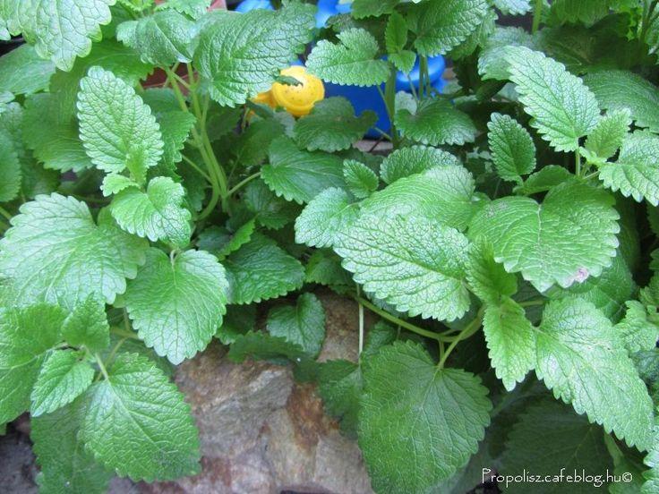Az év gyógynövénye a citromfű | Propolisz