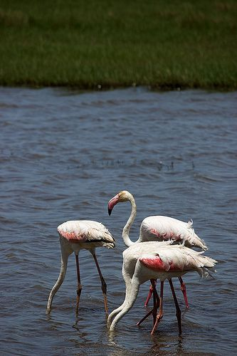 Flamingos at False Bay - in the iSimangaliso Wetland Park Cape Town, South Africa
