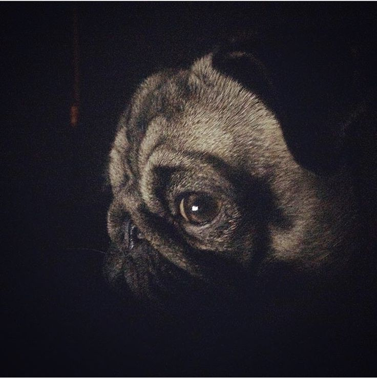 """May the Force be with you"" #padawan #starwars #pippa24seven #mops #pug #pippa #mopsliebe #puglove #hunde #dogs #mopsoftheday #dogoftheday #instadog #instamops #instapug #lovepug #lovemops"