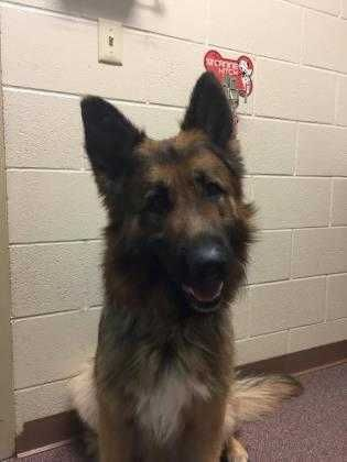 Check out Harvy's profile on AllPaws.com and help him get adopted! Harvy is an adorable Dog that needs a new home. https://www.allpaws.com/adopt-a-dog/german-shepherd-dog/6741687?social_ref=pinterest