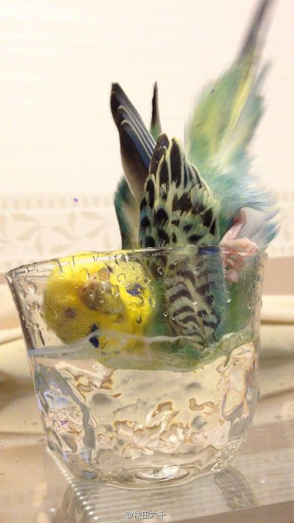 So cute parakeet bathing in a cup!
