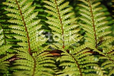 New Zealand Ponga Fern Royalty Free Stock Photo