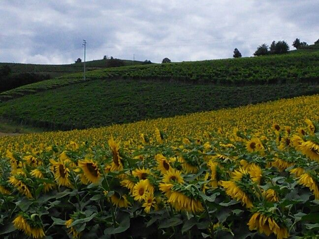 My homeland my roots my heart. Sunflowers are taller than meee! #truth