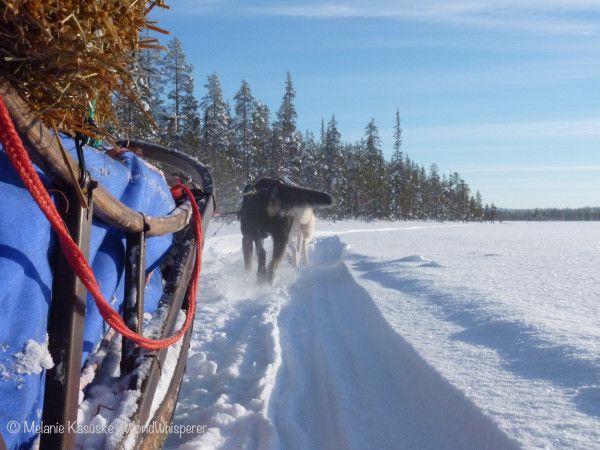Reisen & Arbeiten: 4 Jahre als Schlittenhund-Guide in Skandinavien  #workandtravel #reisenundarbeiten