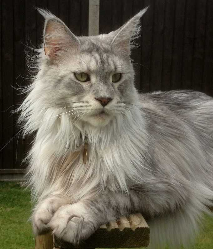 Beautiful Maine Coon cat silver