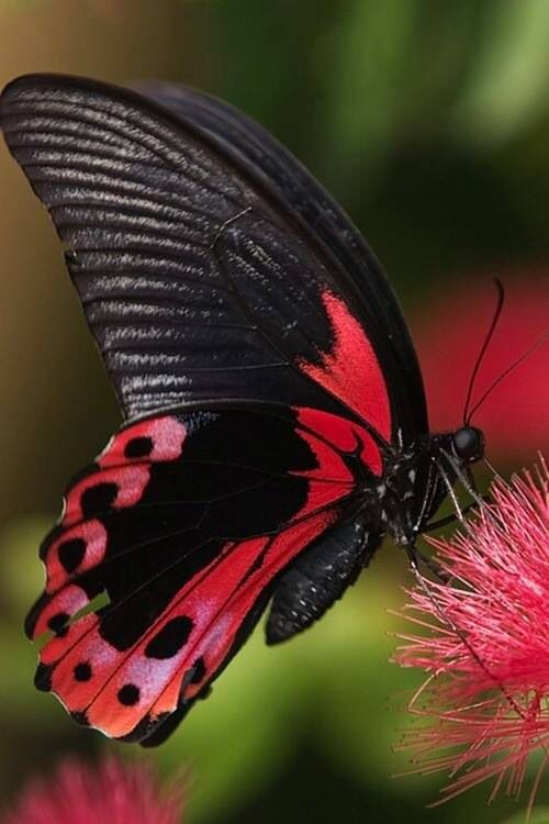 Beautiful pink and black butterfly